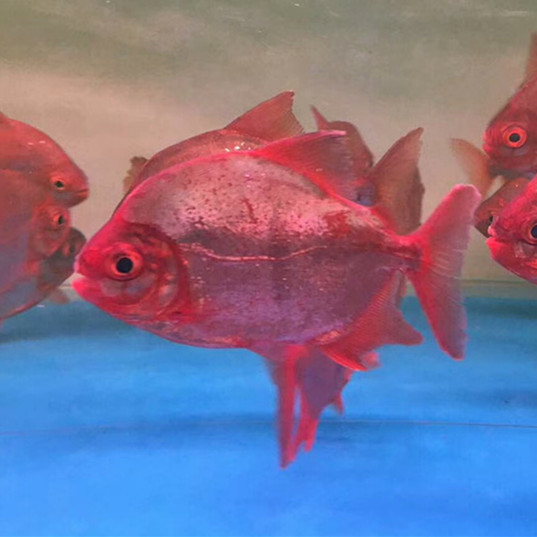 安康玫瑰银版鱼
